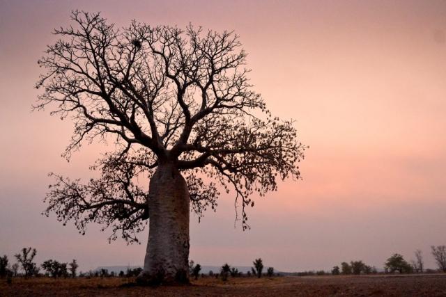 Baobab tree, Australia.