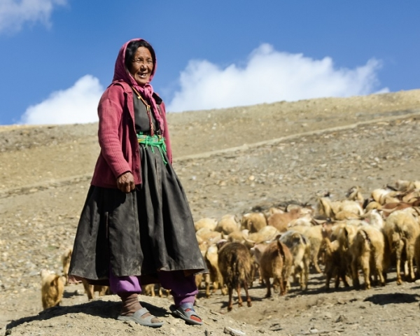 Woman herding her animals in the harsh high altitude Himalaya of Northern India.